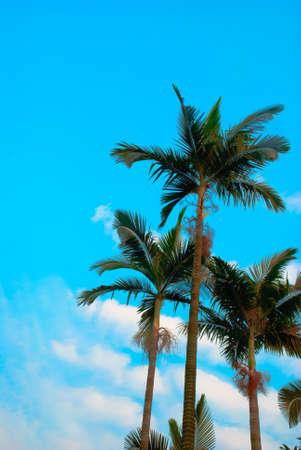 palm tree isolated on white Stock Photo - 10277788