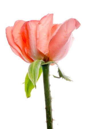 rose flower isolated on white photo
