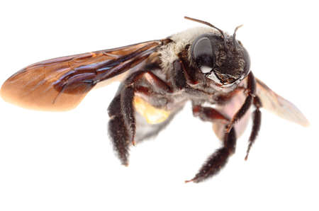 abejas: insectos abeja carpintera aislado en blanco Foto de archivo