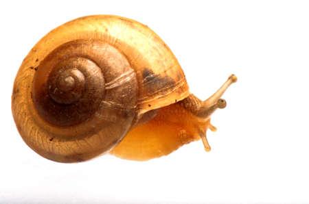 garden snail isolated on white Stock Photo - 10277750