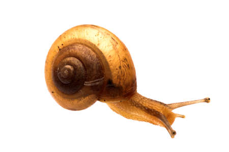 garden snail isolated on white photo