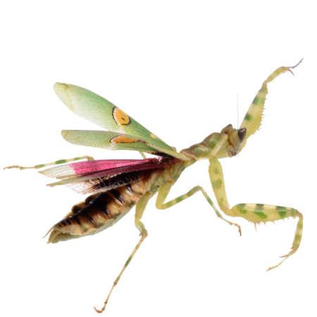 invertebrates: flower praying mantis isolated on white