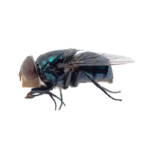 insect bluebottle fly isolated on white photo