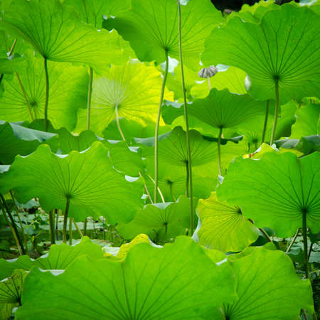 green lotus leaf in garden photo