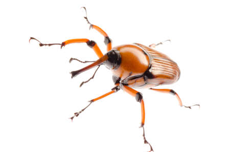 abietis: female brown palm weevil snout beetle, Rhynchophorus ferrugineus, isolated on white