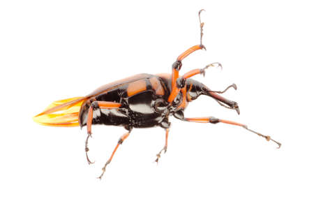 female brown palm weevil snout beetle, Rhynchophorus ferrugineus, isolated on white photo