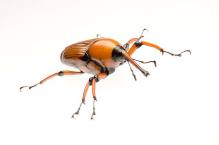arthropod: female brown palm weevil snout beetle, Rhynchophorus ferrugineus, isolated on white