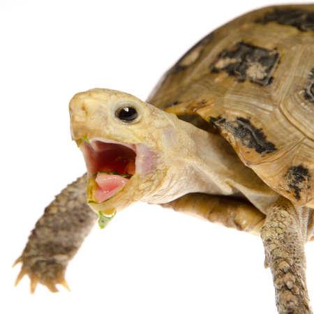 elongated: cute pet turtle tortoise isolated