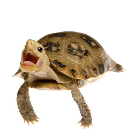 cute pet turtle tortoise isolated Stock Photo - 10752171