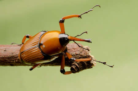 abietis: palm weevil snout beetle on green background