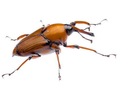 abietis: palm weevil snout beetle, Rhynchophorus ferrugineus, isolated on white Stock Photo