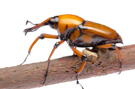 abietis: palm weevil snout beetle, Rhynchophorus ferrugineus, isolated on white Stock Photo