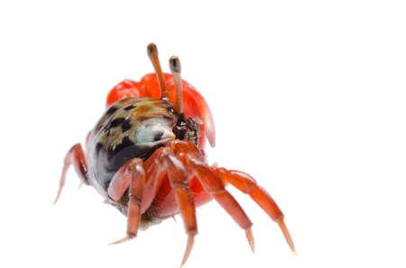 fiddler: animal fiddler crab isolated on white background