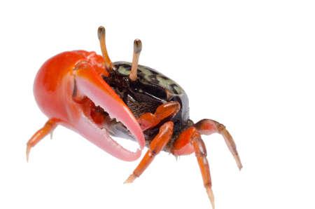 mangrove: animal fiddler crab isolated on white background