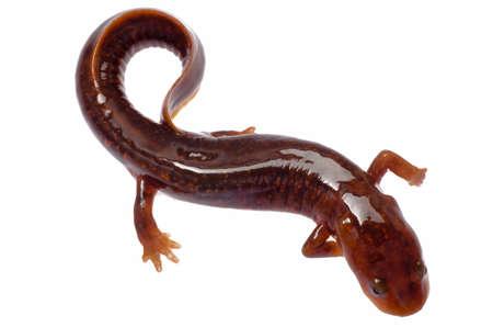 salamandra: China tsitou salamandra salamandra aislado en blanco Foto de archivo