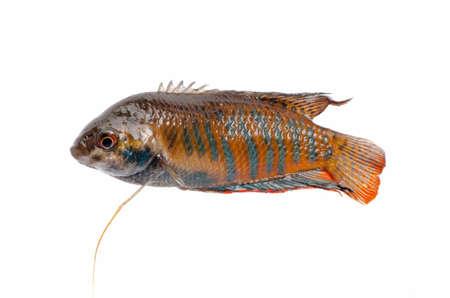 chinese fight fish Macropodus opercularis isolated on white Stock Photo - 11149209