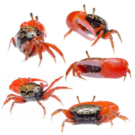 fiddler crab set collection isolated photo