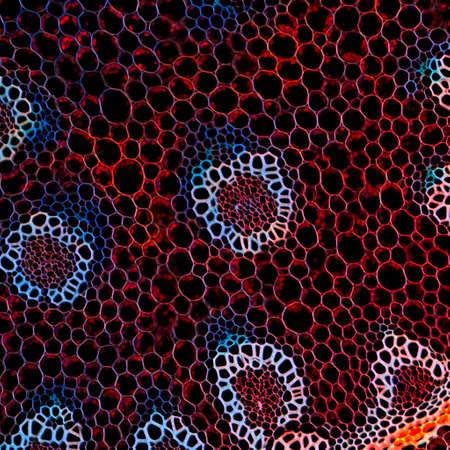 Biologie Wissenschaft Hintergrund Pflanzenwurzel mikroskopischen Schnitt Standard-Bild - 11156272