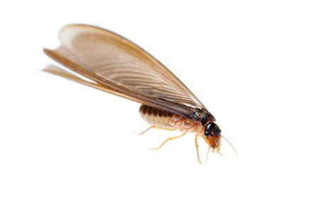 Termite Ameise weiß auf weiß isoliert Standard-Bild - 11624306