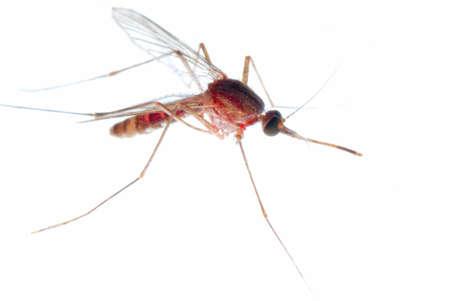 Moskito-Bug isoliert auf weiß Standard-Bild - 11624302