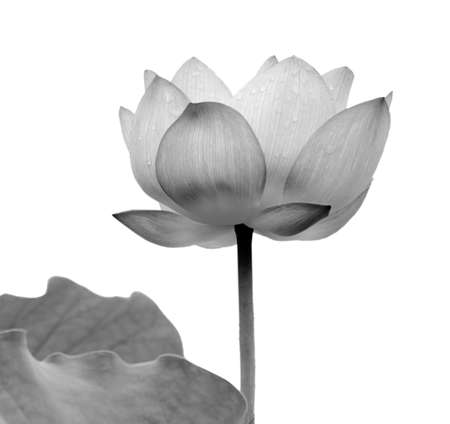 Lotus flower black and white photo