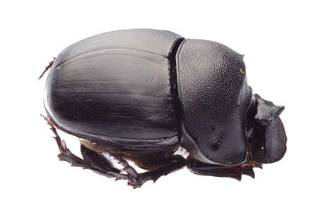 dung: dunk beetle isolated on white Stock Photo