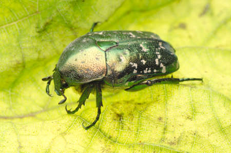 flower beetle on green leaf photo