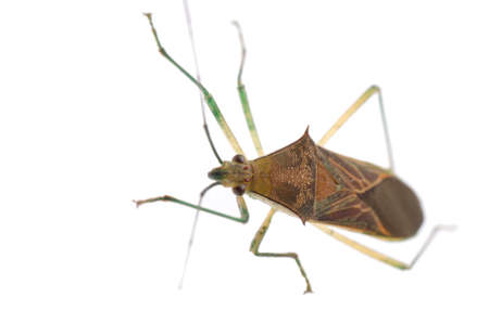 crawly: insect stink bug isolated on white Stock Photo