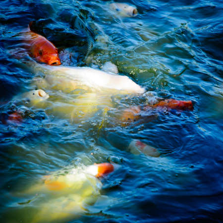 koi fish Stock Photo - 11730127
