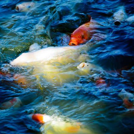 koi fish Stock Photo - 11728317
