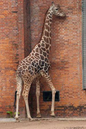 wild animal giraffe photo