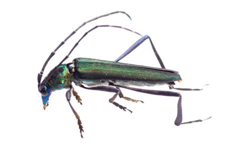 imago: insect longicorn longhorn beetle isolated