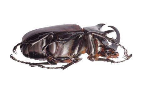 insect giant scarab rhino beetle Eupatorus sukkiti isolated photo