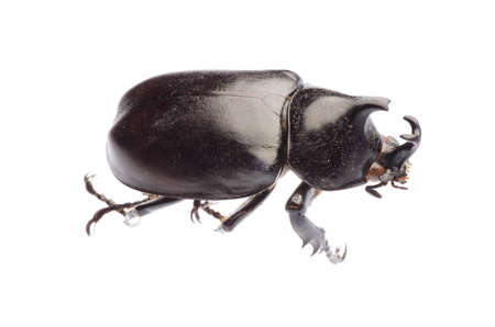 insect giant scarab rhino beetle Xylottrupes gideon isolated photo