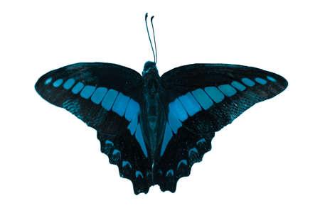mariposas volando: mariposa aislado en fondo blanco.