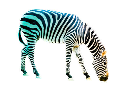 burchell: animal zebra isolated on white background
