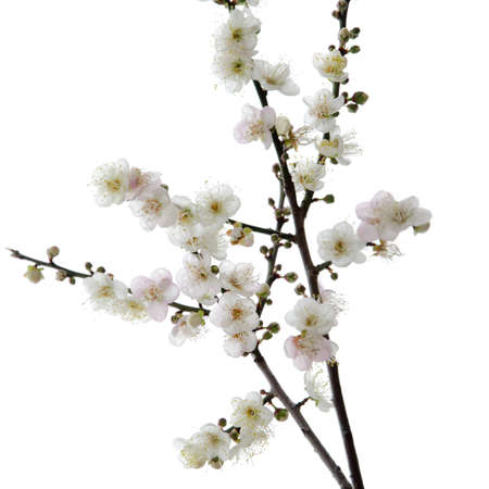 plum blossom flower photo