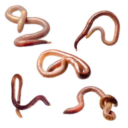 wigglers: animal earth worm isolated on white
