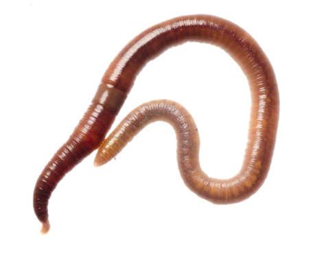 lombriz de tierra: gusano de la tierra los animales aislados en blanco