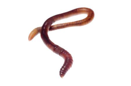lombriz: gusano de la tierra los animales aislados en blanco