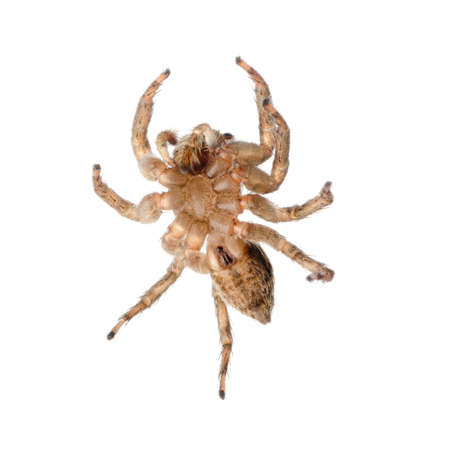 araneae: animal jumping spider isolated on white Stock Photo