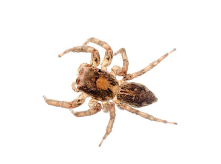 arachnidae: animal jumping spider isolated on white Stock Photo