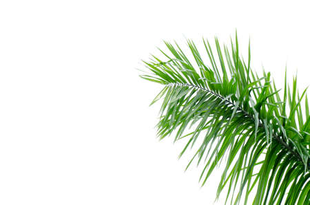green palm tree leaf close up Stock Photo - 12648203