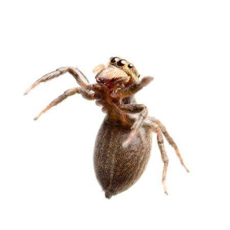 arachnidae: animal black jumping spider isolated on white