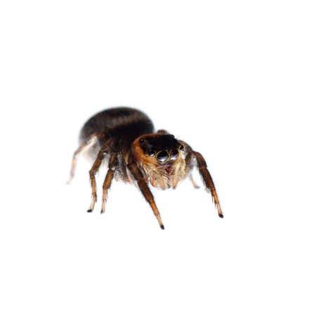 araneae: animal black jumping spider isolated on white