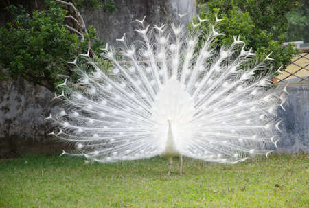 albino: white peacock shows its tail Stock Photo
