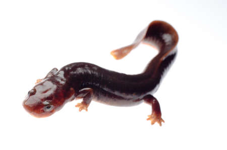 amphibia: animal amphibia salamander newt isolated on white