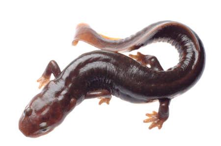 salamandra: animales anfibios la salamandra salamandra aislado en blanco Foto de archivo