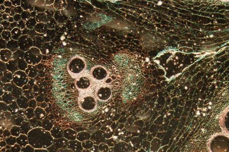 microscopy micrograph plant tissue, stem of pumpkin, magnification 50X photo