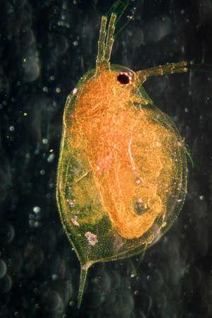 science microscopy micrograph animal water flea, Magnification 50X.